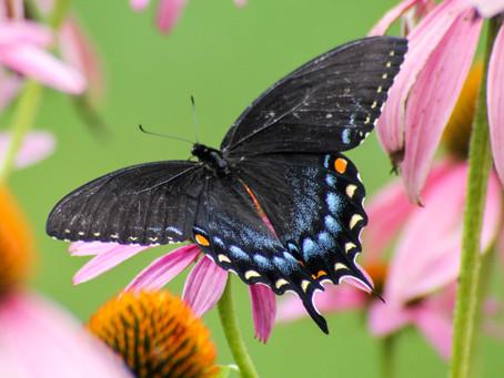 Swallowtail Tales