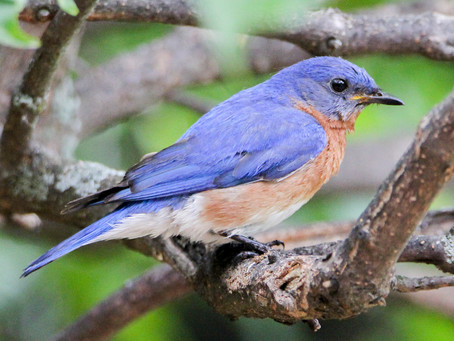 Bluebirds Return To Eighty Acres