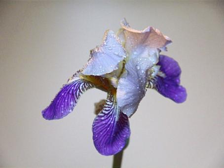 The Iris Said