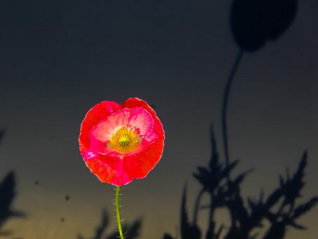 Poppy  Memories