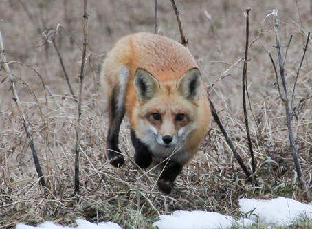 Outfoxing the Fox on Eighty Acres