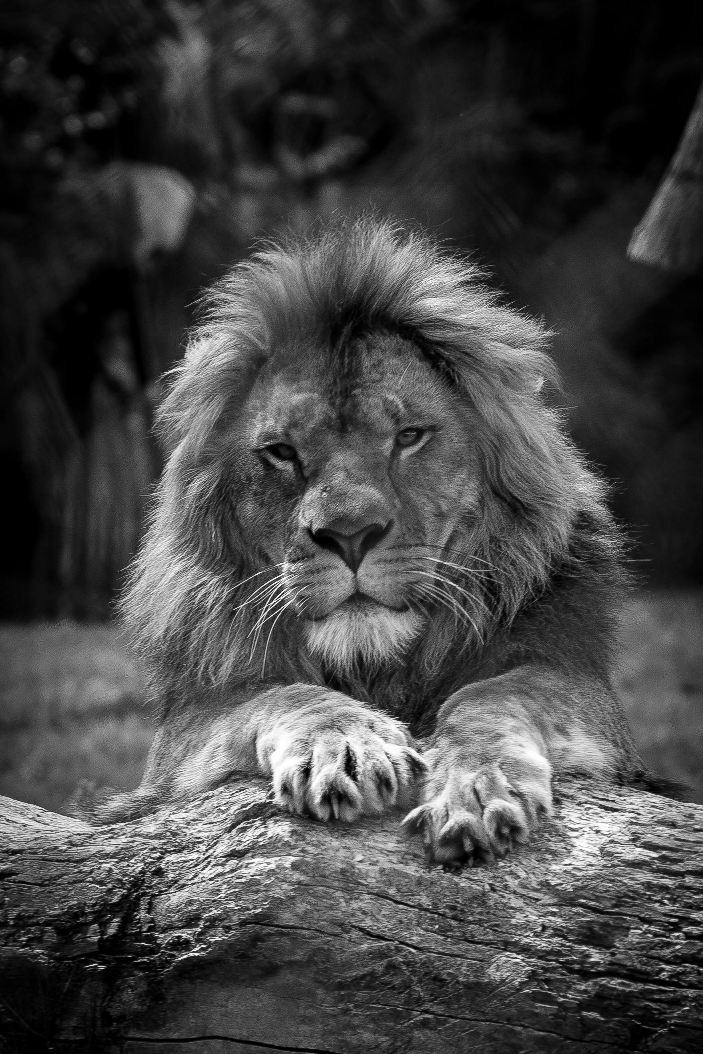 Lion King - Pairi Daiza