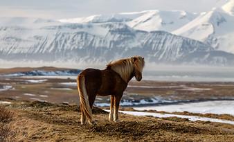 Shetland Horses - Iceland