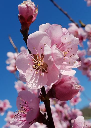 Fleurs roses de pecher au printemps