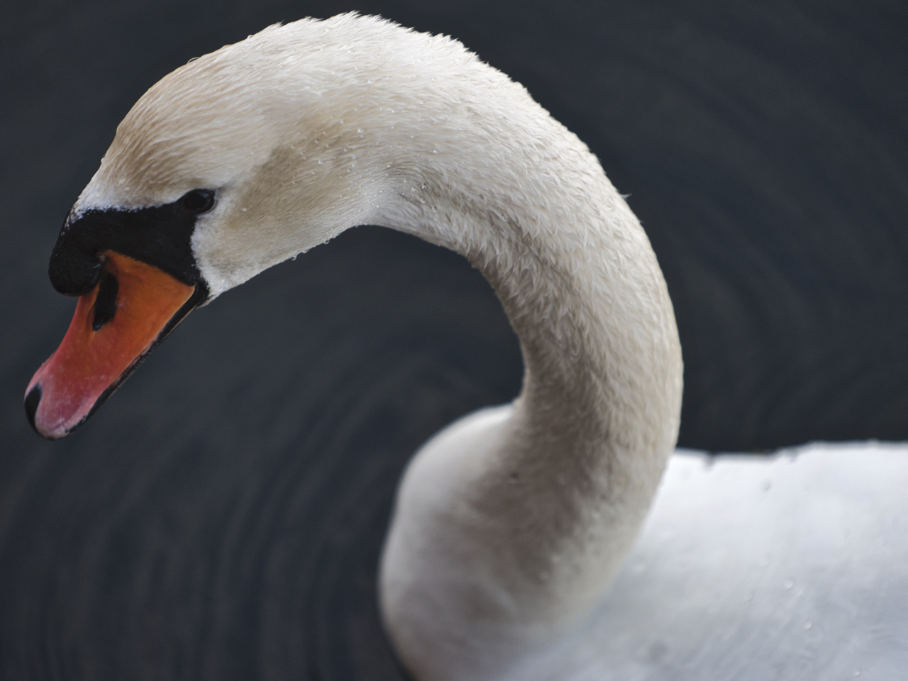 Mute Swan, Baltic Sea