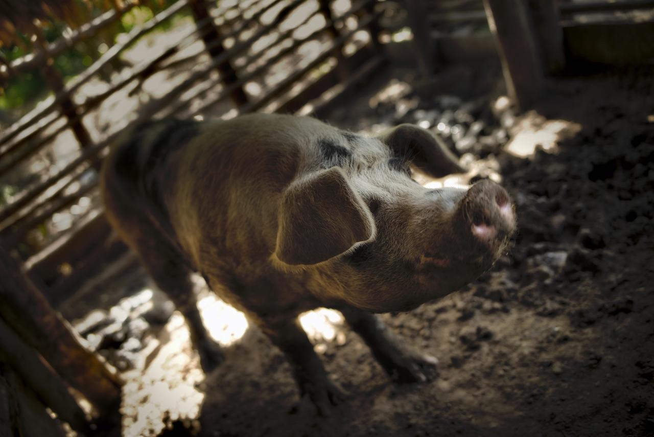 Dominican Boar