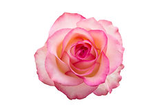 pink rose isolated on white background.j