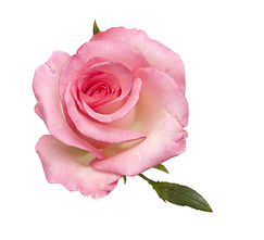 gentle pink rose isolated on white backg