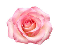 fully open gentle pik rose isolated on w