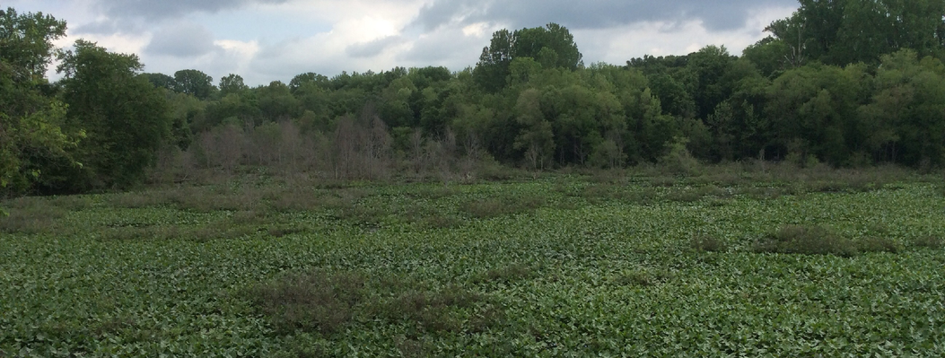 Wetland along the Middle Oconee River.