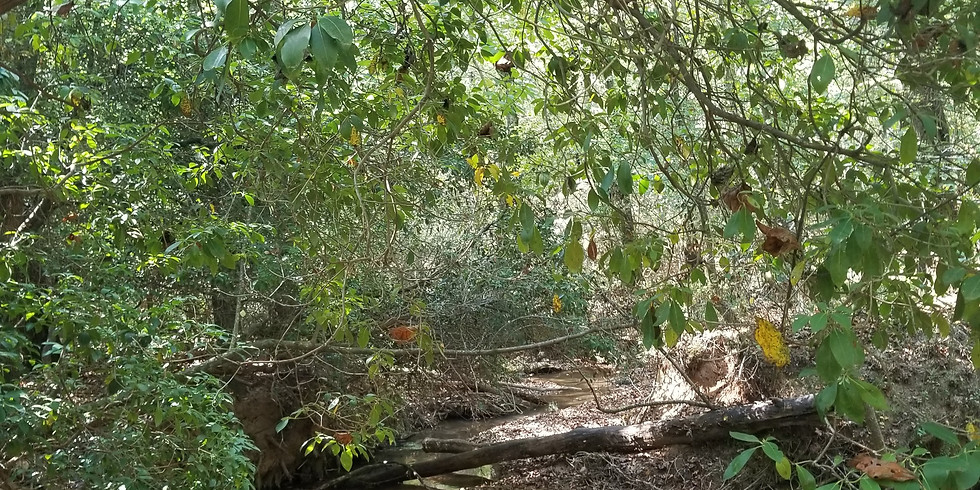 Privet-Pull and Hike Along Noketchee Creek