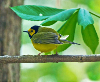 New Publication on the Avian Species of Tallassee Forest