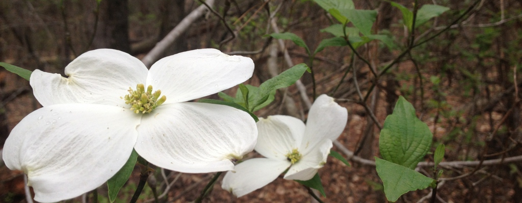 Dogwood (Cornus Florida) is an understory tree in the diverse woodland along a section of Noketchee Creek protected by an ORLT conservation easement.