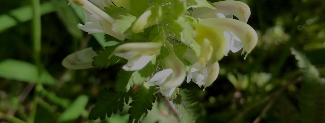 Wood Betony (Pedicularis canadensis).jpg