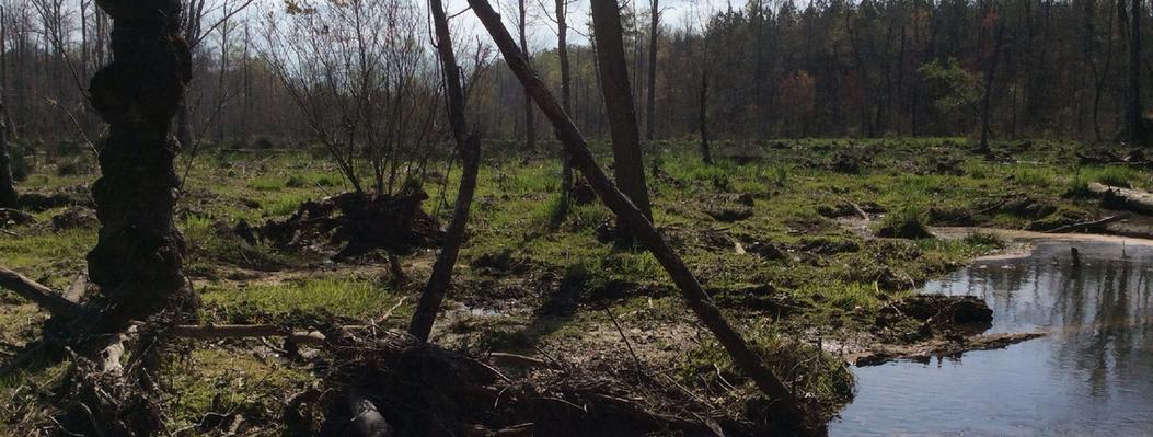 Bottomland Hardwoods with Canebrake II.p