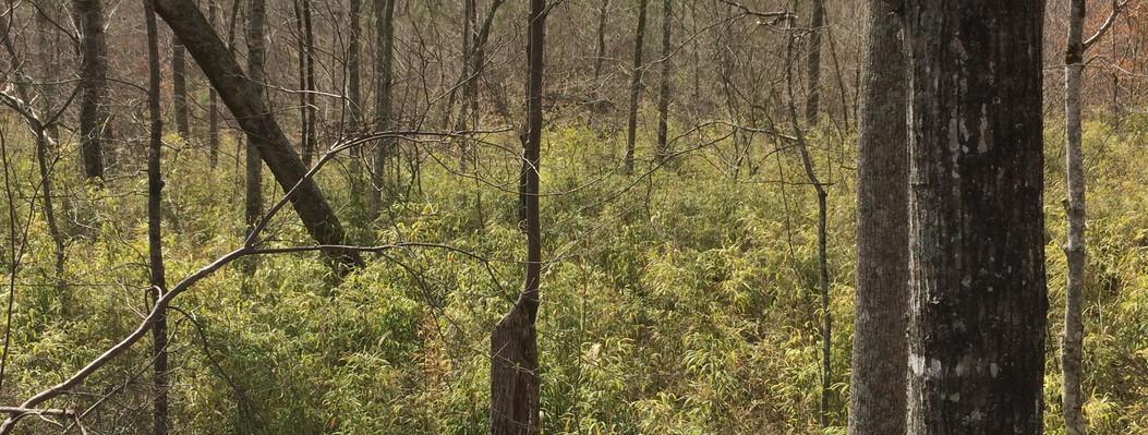 Bottomland Hardwoods with Canebrake II.j