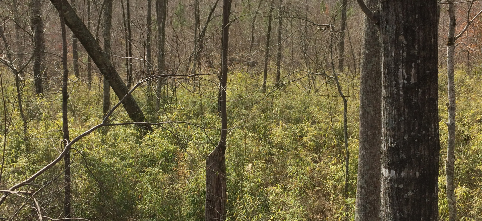 Bottomland Hardwoods with Canebrake II.j