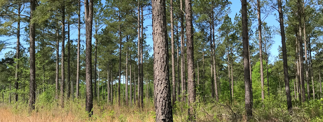 Away from Coody Creek, the property's mesic hardwoods and pine forests are managed with controlled fires to improve wildlife habitat and species diversity. Frequent fire management supports diverse wildlife, including turkeys and coveys of quail.