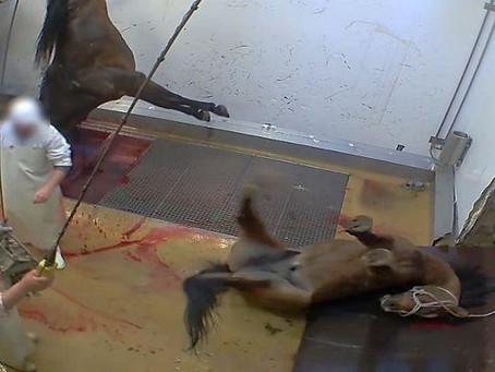 Απαγόρευση σφαγής ιπποειδών