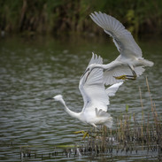 Pair of Little Egrets