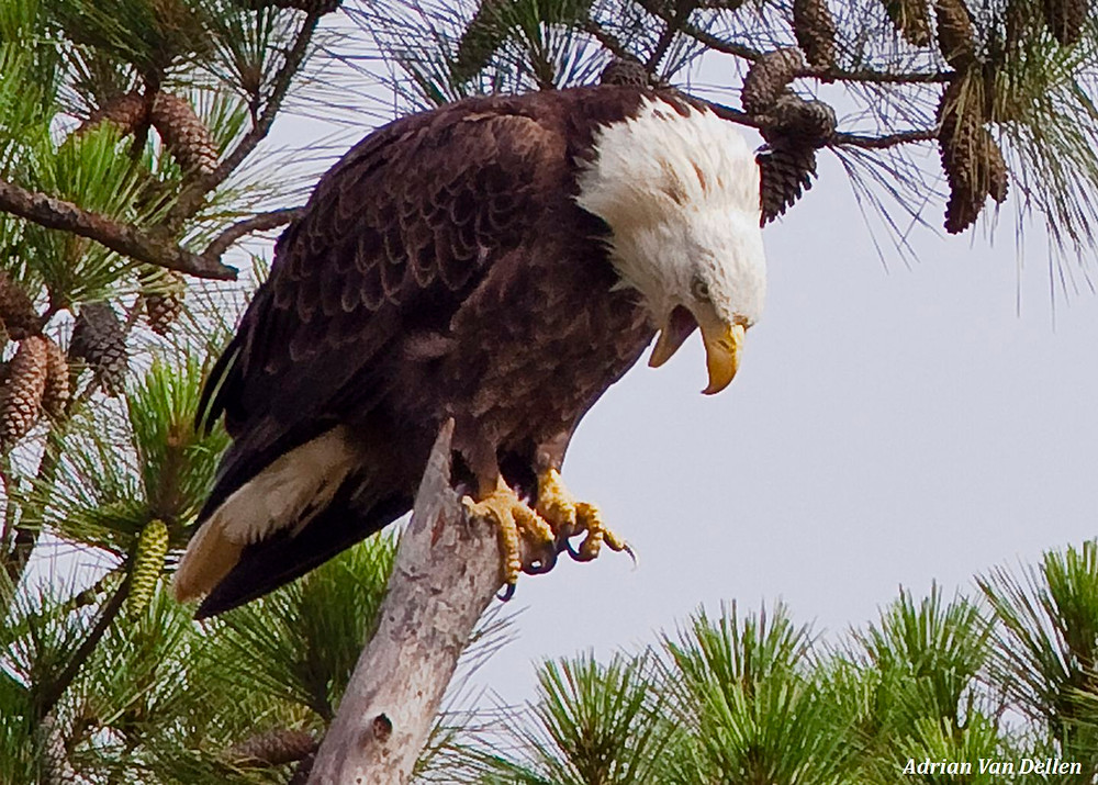 a close up view of an American bald eagle perched in a longleaf pine tree looking down and screeching