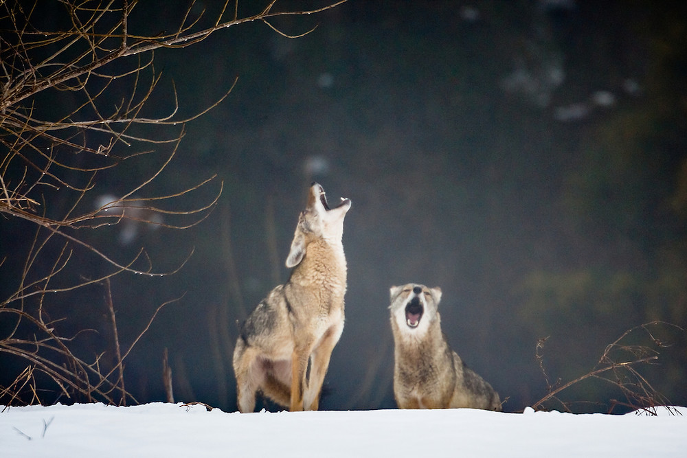 Photo caption: Coyotes in the Great Trinity Forest, courtesy of Sean Fitzgerald