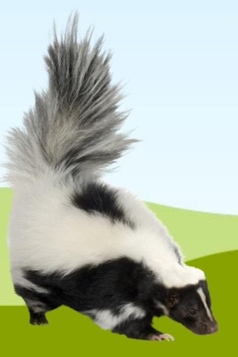 Adopt a Striped Skunk