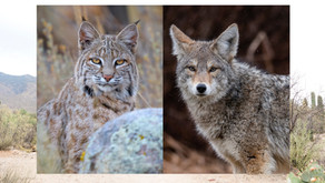 Meet Our Texas Native Carnivores: Living with Bobcats and Coyotes in Texas
