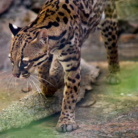 Recovering America's Wildlife Act: Crucial for Texas Wildlife