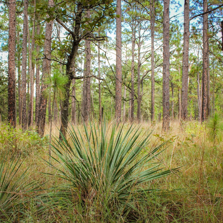 Longleaf Pines by David Yancey