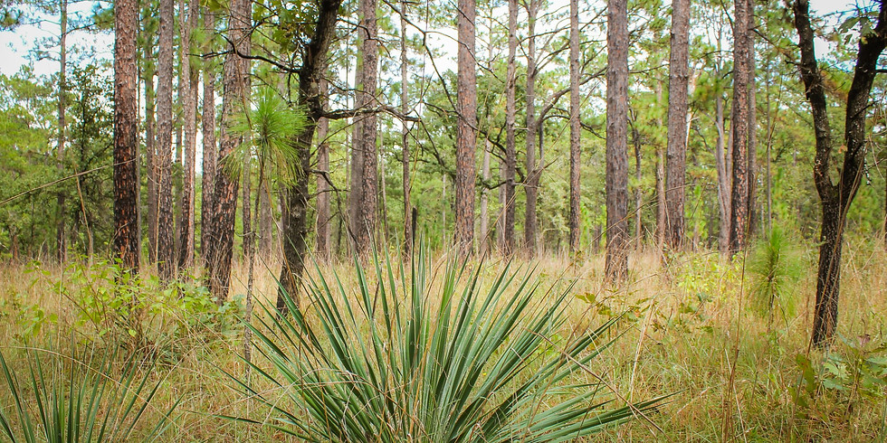 Plant Longleaf Pines at Big Thicket National Preserve Dec 11