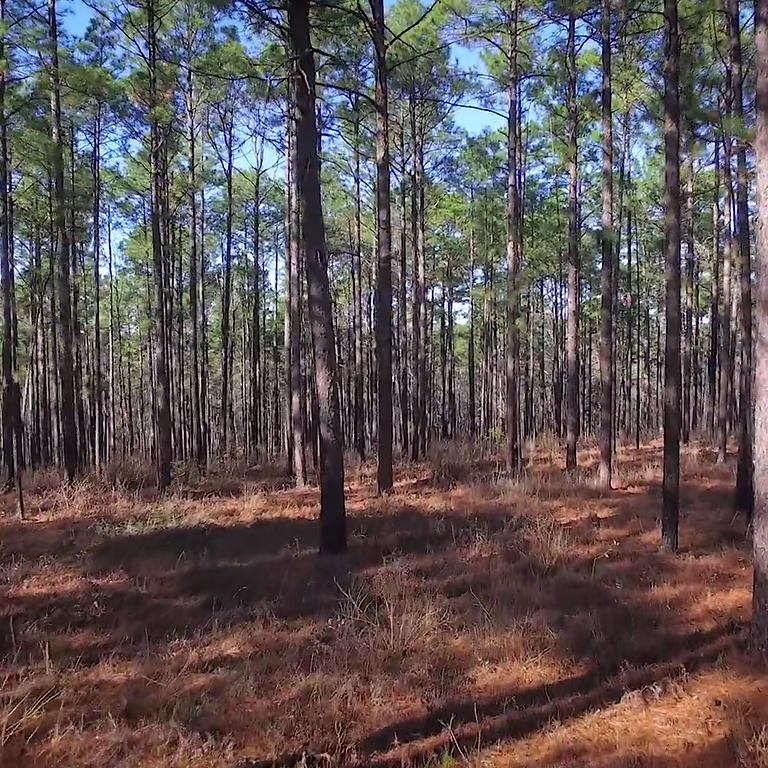 Plant Longleaf Pines at Big Thicket National Preserve Jan 17