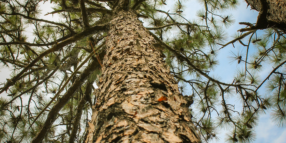 Plant Longleaf Pines at Big Thicket National Preserve Feb 21