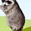 Thumbnail: Adopt a Raccoon