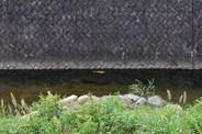 River carp