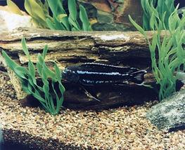 African Cichlid Freshwater Aquarium Fish