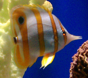 Copperband Butterfly Saltwater Aquarium Fish