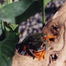Red-eye Tree Frog Terrarium