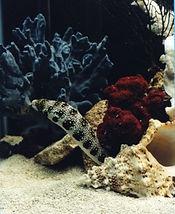 SnowflakeMoray Eel Salltwater Aquarium Fish