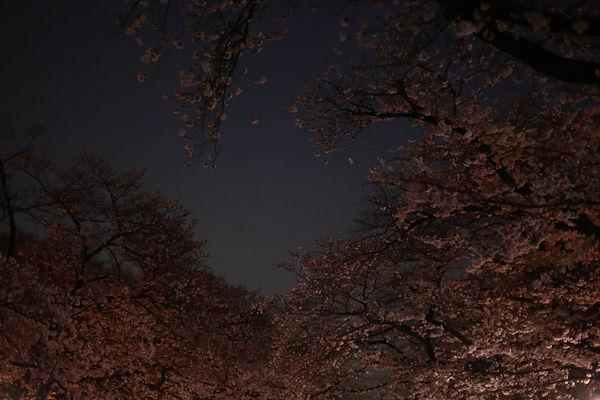 Sakura Festival in Tokyo Ueno Park Sunset with Cherry Blossom