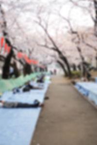 Tokyo-Sakura-Morning-Ueno-Park-Awakening