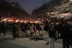 Tokyo-Sakura-Night-Cherry-Tree-Ueno-Park
