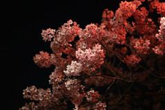 Tokyo-Sakura-Night-Ueno-Park-Cherry-Blos