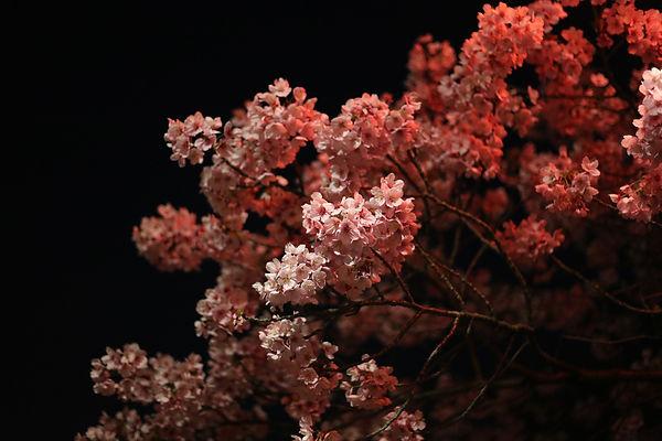 Sakura Festival in Tokyo Ueno Park Cherry Blossoms Pink