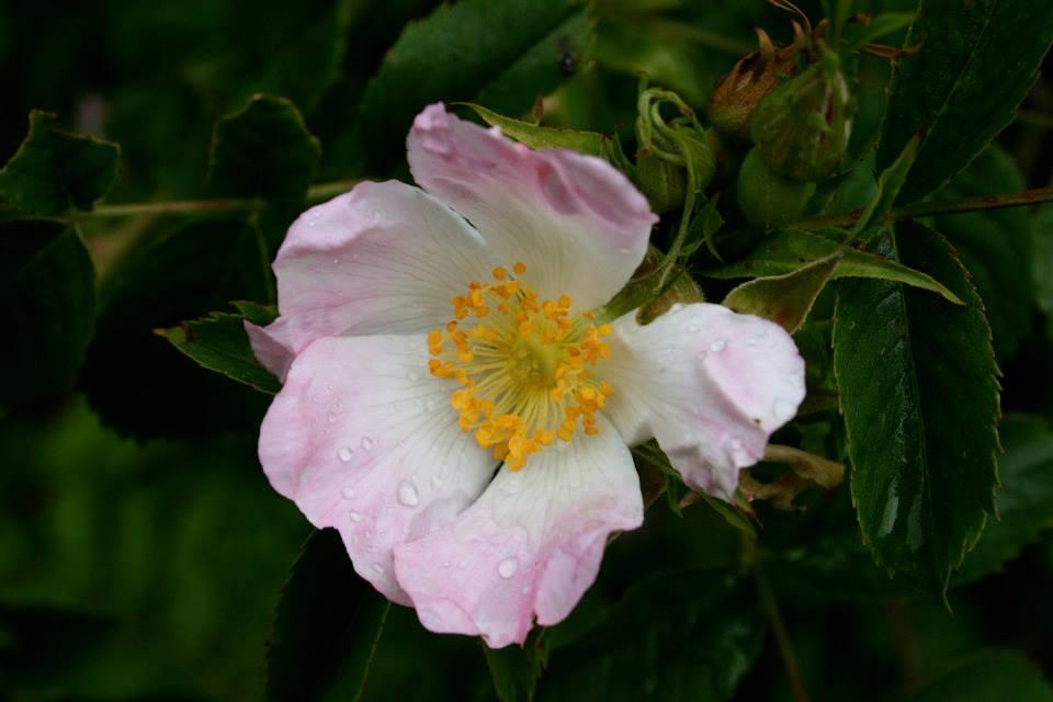 rosa-canina-fiore-vitamica-c-rimedio-naturale
