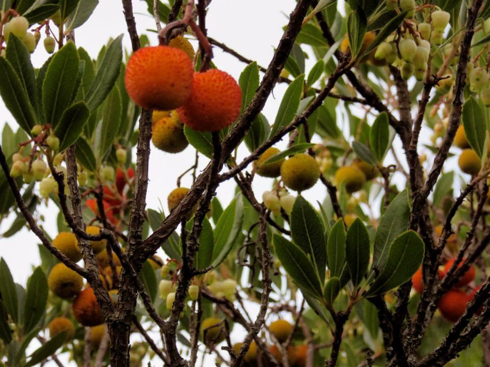 corbezzolo-arbutus-unedo-astringente-frutto-selvatico
