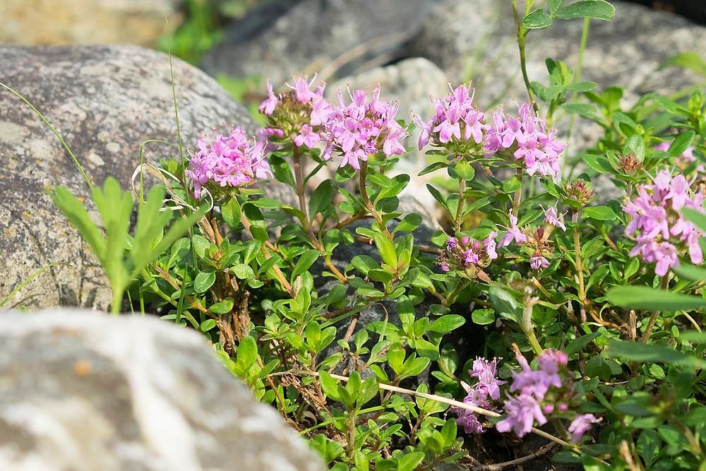 timo-selvatico-antisettico-rimedio-naturale-pianta-aromatica