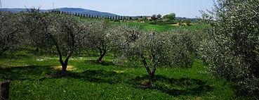 Viaggio a piedi da Firenze a Siena tra gli ulivi