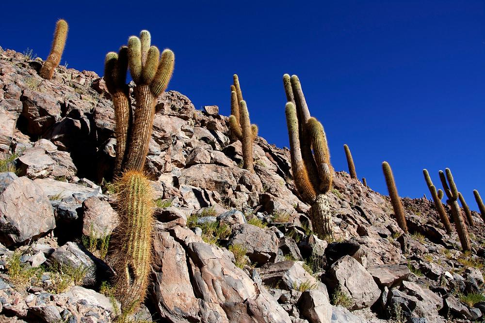 deserto-cileno-cactus-quebrada-di-guatin-atacama
