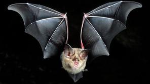 Bat Music - Harmonics and horseshoe bats